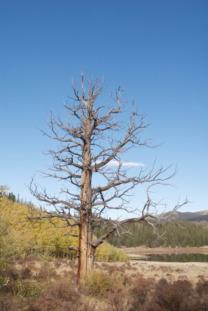Dead Ponderosa Pine Near an Alpine Lake