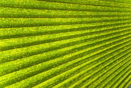 Single Palm Frond as a Background or Wallpaper