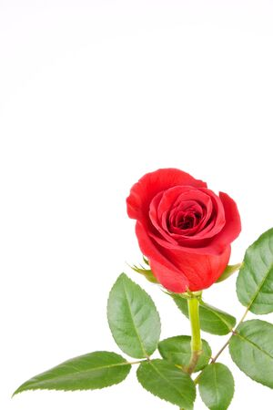 A Single Red Rose Isolated on White with Room for Copy