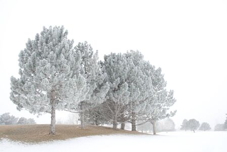 Frost Laden Evergreen Trees Stock Photo - 27675928