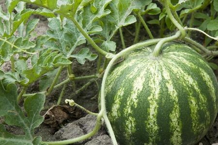 melon fruit: watermelone