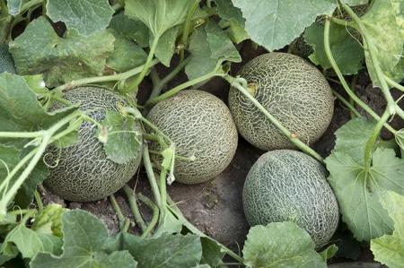 Melons in a garden