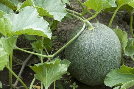non cultivated: Melon in a garden