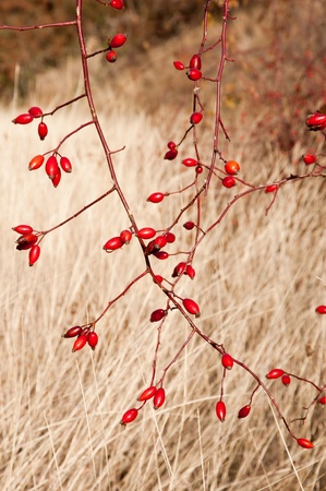 Sweetbriar Rose (Rosa rubiginosa) Hips during the autumn Stock Photo
