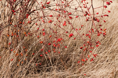 Sweetbriar Rose (Rosa rubiginosa) Hips during the autumn photo