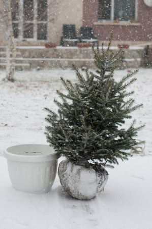 Fir Tree in the snow- live tree with root photo