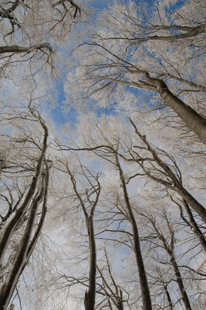 snowcapped: Beech forest in the winter-look upwards