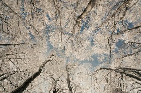 copse: Frozen Beech forest in the winter-look upwards.