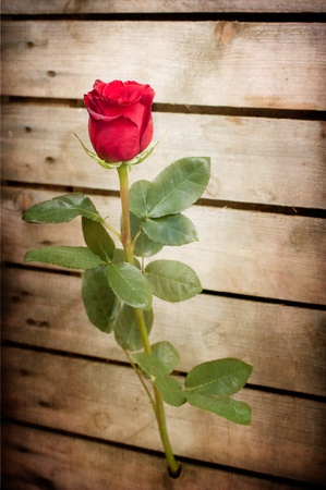 thorns and roses: red rose out of the wooden fence Stock Photo