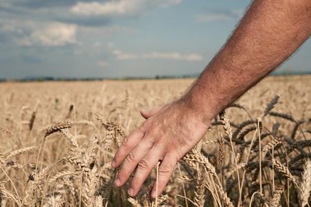 Male hand caressing ripe wheat