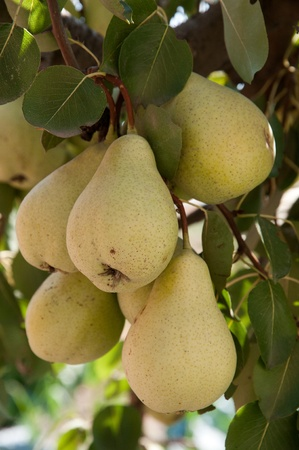 Branch of ripe pears-photography