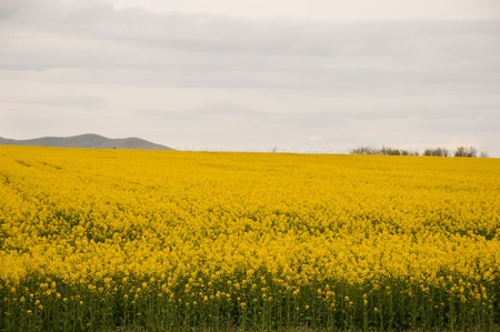 Oilseed Rap-yellow field and mountain photo