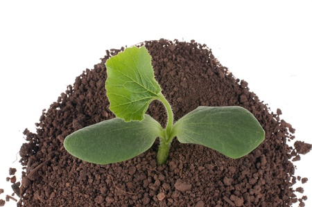 Small pumpkin seedlings in soil photo