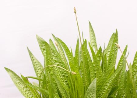 Plantain on a white background Stock Photo