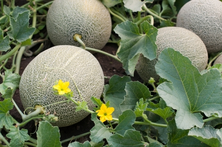 Melons in a vegetable gardeni selective focus on the front one