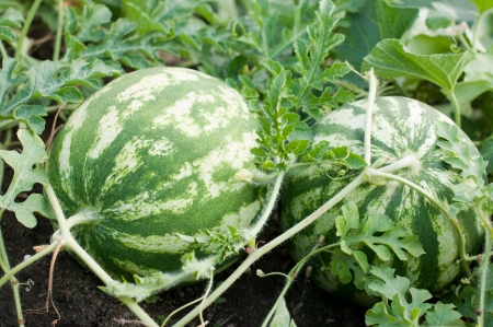 Waterelons in a vegetable garden- selective focus on the   watermelons
