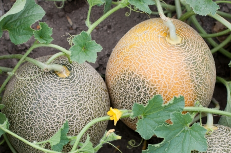 Melons in a vegetable garden Stock Photo