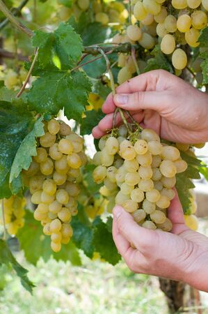 White grape in a garden