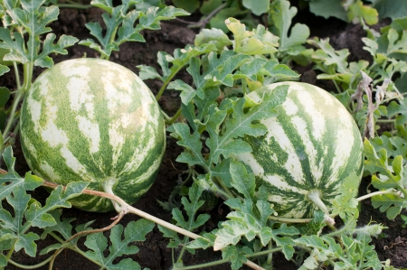 melon field:  Two Watermelons in a vegetable garden