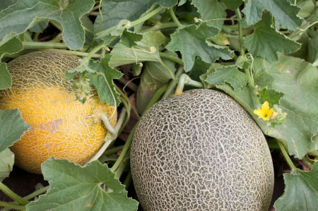 Two Melons in a vegetable garden