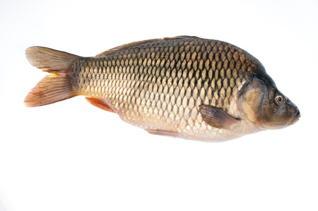 Carp- fish on a white background Stock Photo - 16839764