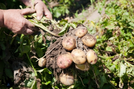 dirty hands: Raw potatoes ina dirty hands in a vegetable garden- stock photo
