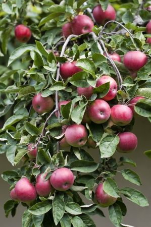 agricultu: Branches of apple tree with fruits- stock image