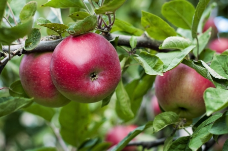 agricultu: Branch of apple tree with fruits- stock image