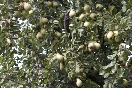 agricultu: Part of pear tree- lot of pear fruits