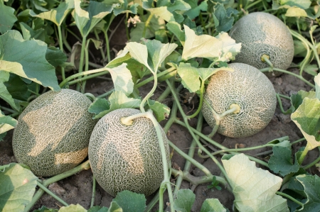 Melon plant in a vegetable garden- stock image Standard-Bild
