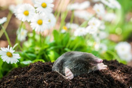 Mole on a heap of soil in a garden Stok Fotoğraf