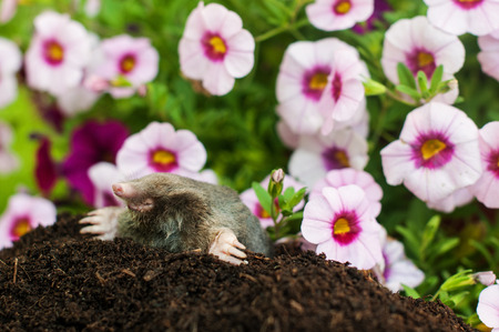 Mole on a heap of soil in a garden photo
