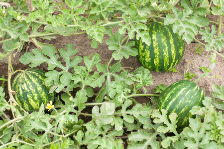 Watermelon plant in a vegetable garden- whole plant Stock Photo