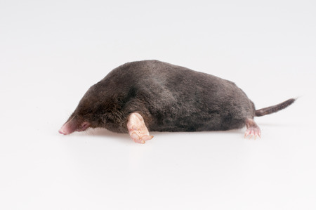Mole on a white background - studio shot photo