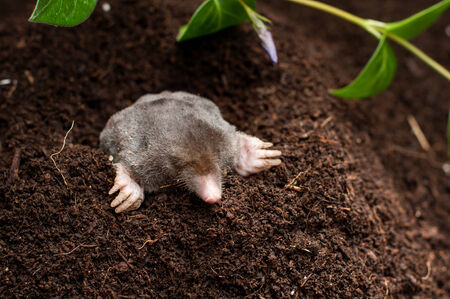 Mole in the soil hole in the garden
