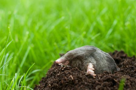 Profil of mole digging the soil
