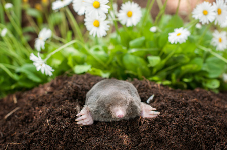 molehill: Mole out of its hole in the garden in front of blooming flowers Stock Photo