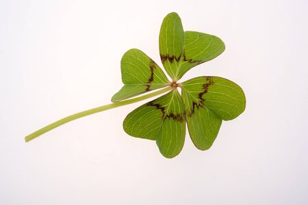 Four leaf clover on a white background photo