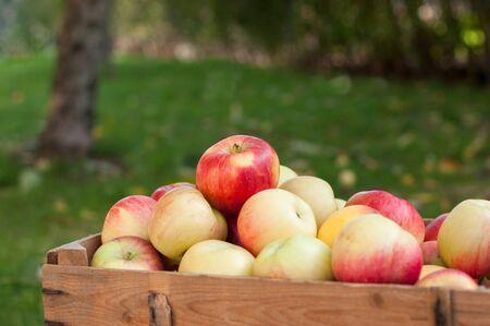 Collected harvest of apples in a vegetable garden Zdjęcie Seryjne