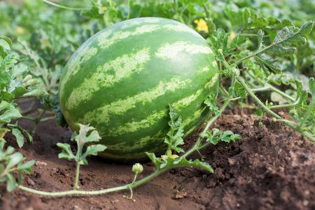 Watermelon plant in a vegetable garden Standard-Bild