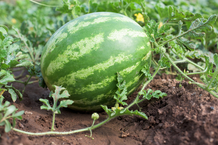 Watermelon plant in a vegetable garden Stock Photo