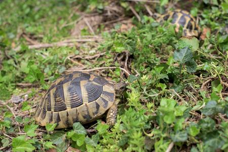 Two Terrestrial tortoises in a grass