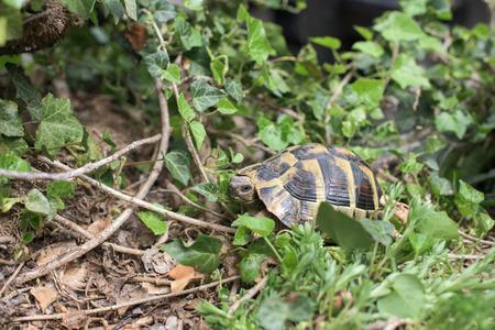 Small Terrestrial tortoise in a grass- closeup