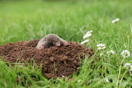 Mole out of hole in the garden