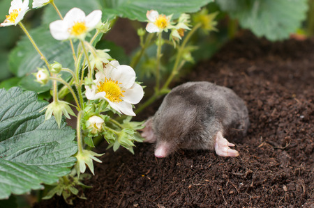 Mole out of hole- in vegetable garden