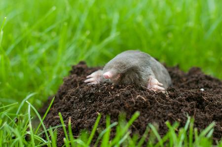 Mole in a garden- heap of soil in the grass Stock Photo