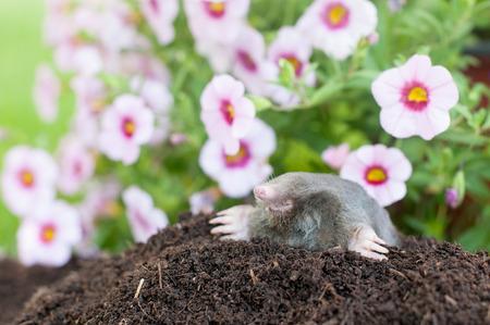 Maulwurf aus seinem Loch vor Blumen
