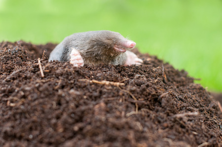 Mole and its hole in a garden
