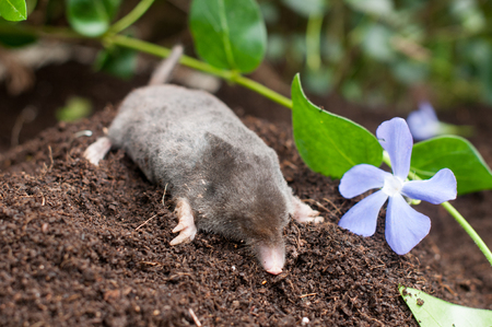Mole out of its hole in the garden