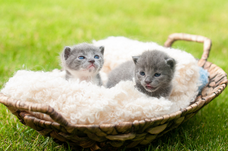 Two sweety kittens in old wooden basket